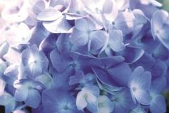 Hydrangea-Endless-Summer-_1024x768_