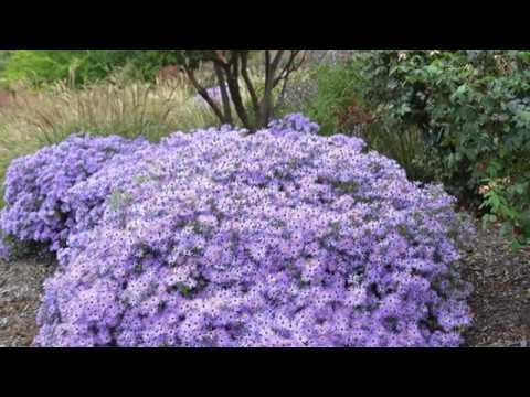 How to Trim Asters